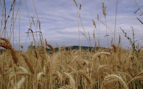 wheat-tares.jpg